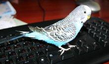 Попугай на клавиатуре